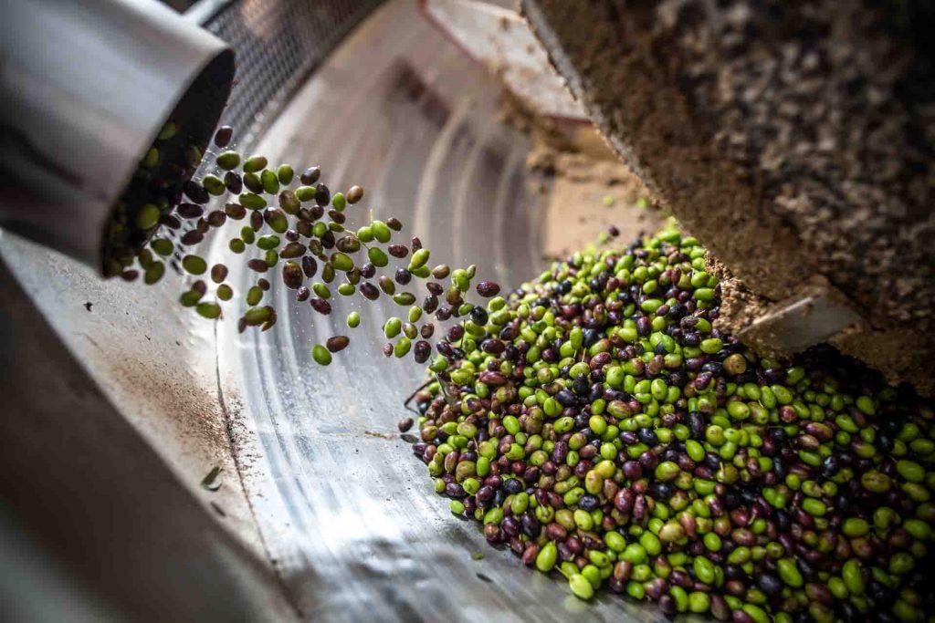 Le olive vengono immesse nelle macine